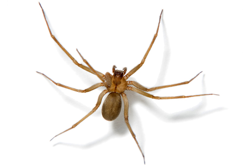 UNIVERSAL EXTERMINATING CO., INC. Mechanicsville VA Pest-Control Brown Recluse Spider