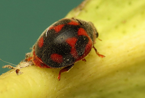 Universal-Exterminating--Mechanicsville-VA-Pest-Control-beetle