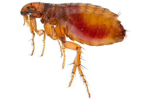 UNIVERSAL EXTERMINATING CO., INC. Mechanicsville VA Pest Control fleas