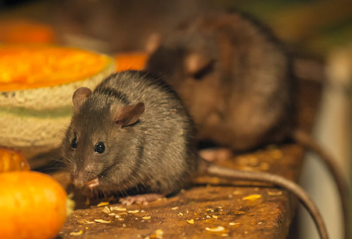 UNIVERSAL EXTERMINATING CO., INC. Mechanicsville VA Pest Control rats mice